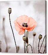Red Corn Poppy Flowers 01 Canvas Print