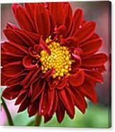 Red Dahlia Unfurled Canvas Print