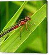 Red Damsel Fly Canvas Print