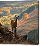 Red Deer Calf Canvas Print