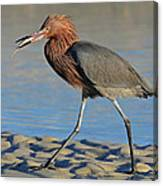 Red Egret With Fish Canvas Print