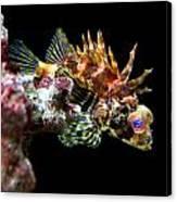 Red Eyed Scorpion Fish Canvas Print