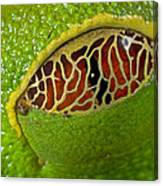 Red Eyed Tree Frog Eyelid Costa Rica Canvas Print