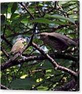 Red-eyed Vireo Feeding Cowbird Fledgling Canvas Print