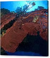Red Fan Cora With Sunburst, Papua New Canvas Print