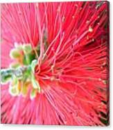 Red Feelers Canvas Print