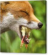 Red Fox Eating A Chick Canvas Print