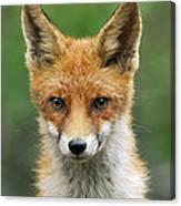 Red Fox Vulpes Vulpes, Hoge Veluwe Canvas Print