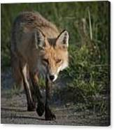 Red Fox Walking Canvas Print