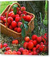 Red Fresh Plums In The Basket Canvas Print