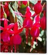 Red Fuchsias Canvas Print