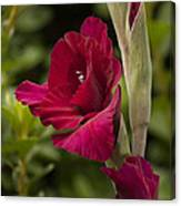 Red Gladiola Canvas Print