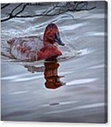 Red Headed Duck Canvas Print