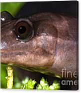 Red Hills Salamander Canvas Print
