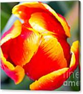 Red In A Tulip Canvas Print