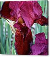 Red Iris Duo Canvas Print
