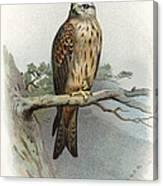 Red Kite, Historical Artwork Canvas Print