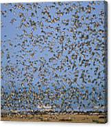 Red Knot Calidris Canutus Flock Flying Canvas Print