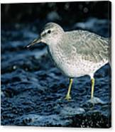 Red Knot Calidris Canutus In Winter Canvas Print