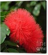 Red Koosh Ball Flowers Canvas Print
