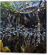 Red Mangrove Rhizophora Mangle Aerial Canvas Print