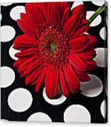 Red Mum With White Spots Canvas Print