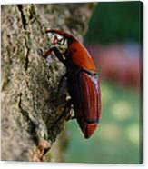 Red Palm Weevil Canvas Print