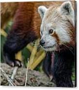 Red Panda Exploration Canvas Print