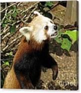 Red Panda Feeding Time Canvas Print