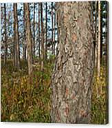 Red Pine Forest Canvas Print