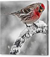 Red Poll - Cold But Hungry Canvas Print