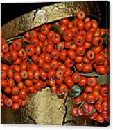Red Pyracantha Berries Canvas Print