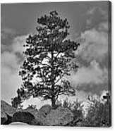 Red Rock Pine Canvas Print