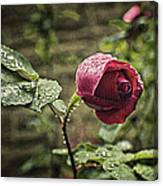 Red Rose In Water Drops Canvas Print