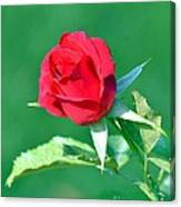 Red Rose With Star-shaped Collar Canvas Print