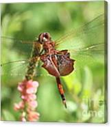 Red Saddlebag Dragonfly In The Marsh Canvas Print