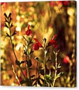Red Salvia Canvas Print