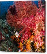 Red Sea Fan And Soft Coral In Raja Canvas Print