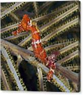 Red Seahorse On Caribbean Reef Canvas Print