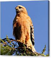 Pismo Beach Red Shoulder Hawk Canvas Print