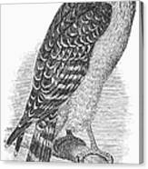 Red-shouldered Hawk, 1890 Canvas Print