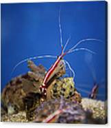 Red Shrimp Canvas Print
