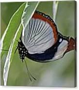 Red Spot Diadem Butterfly Canvas Print