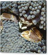 Red-spotted Porcelain Crab Hiding Canvas Print