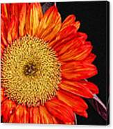Red Sunflower II  Canvas Print