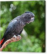 Red-tailed Black-cockatoo Canvas Print