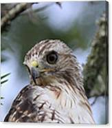 Red-tailed Hawk Has Superior Vision Canvas Print