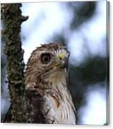Red-tailed Hawk - Hawkeye Canvas Print