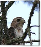 Red-tailed Hawk - Young And The Old Canvas Print
