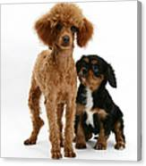 Red Toy Poodle And Cavalier King Canvas Print